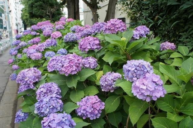 「紫陽花」アジサイ(H25・6・22)1